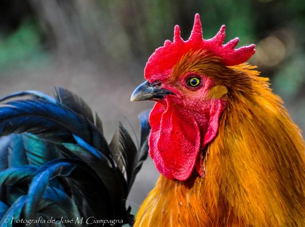 El gallo de las sierras