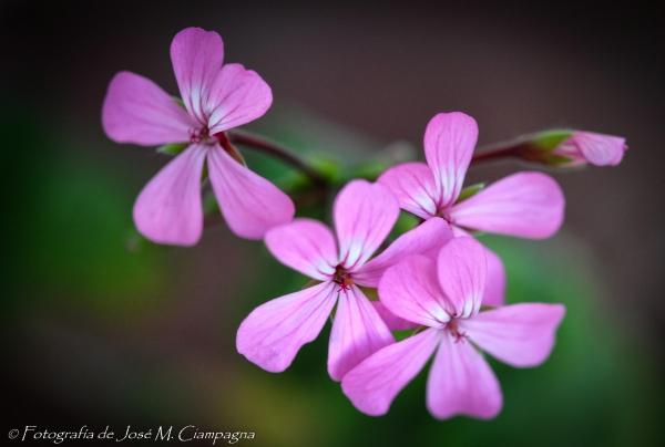 Florcillas