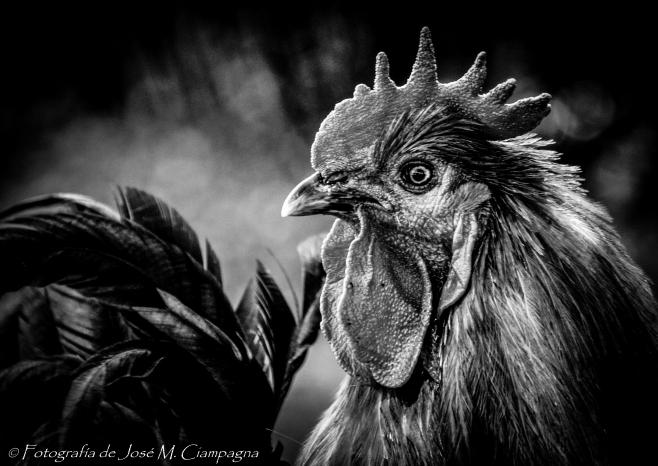 El señor gallo