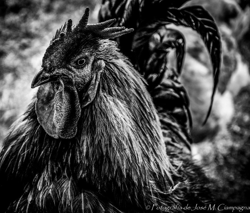 Señor gallo 2