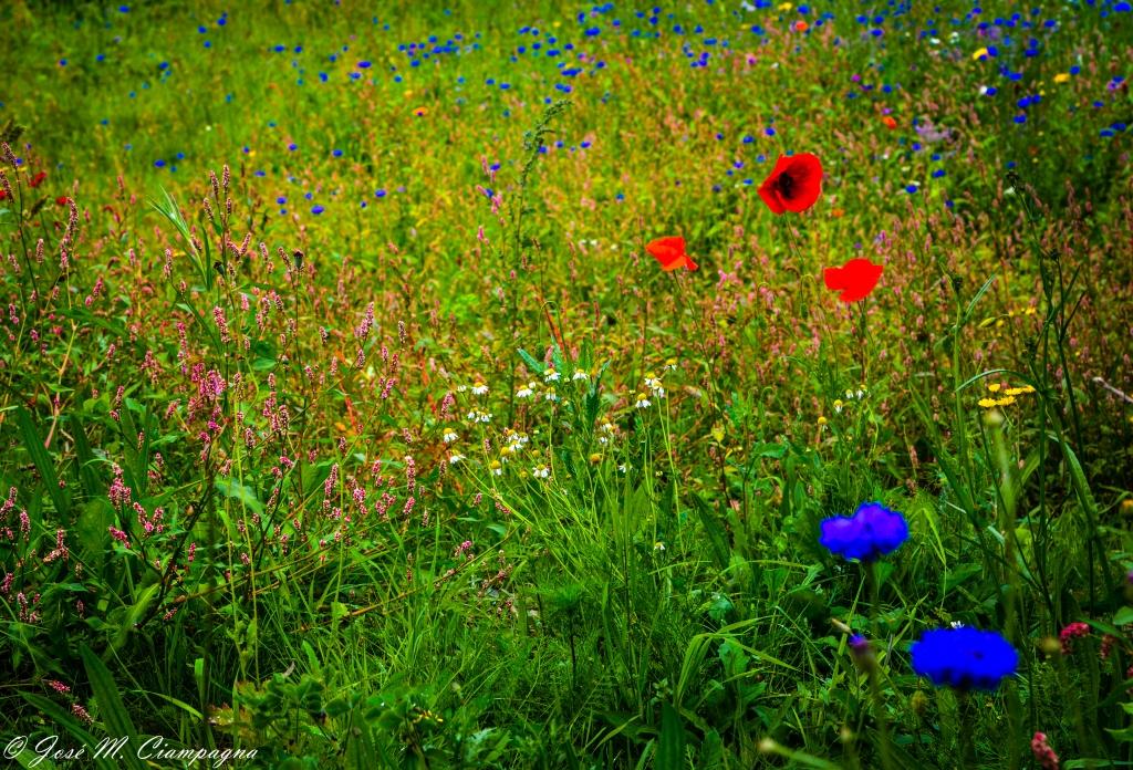 Flores de Avoca foto  dos