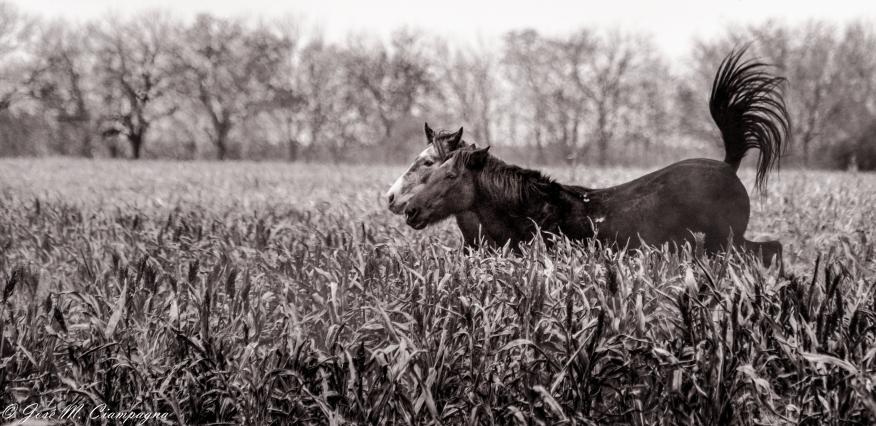 Pareja de caballos en el rastrojo