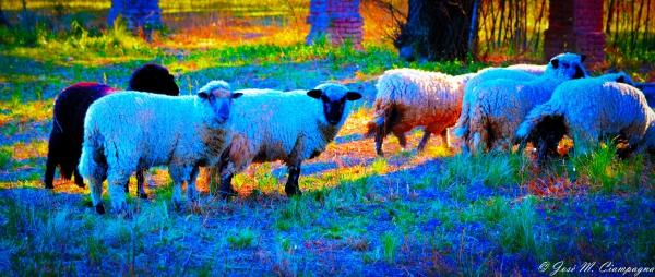 Ovejas en el campo