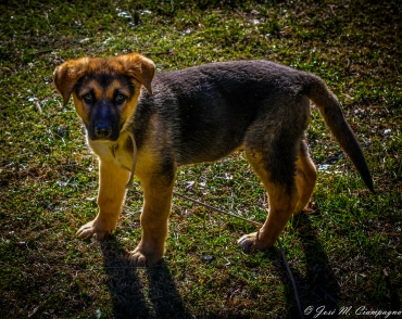 Cachorro de policía foto tres
