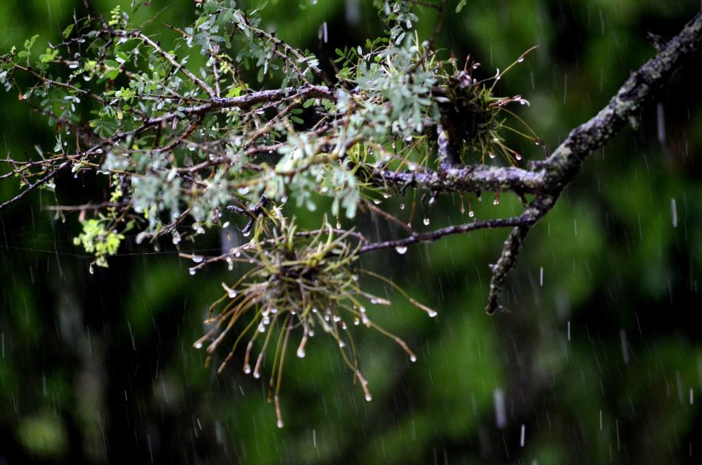 Clavel del aire bajo la lluvia