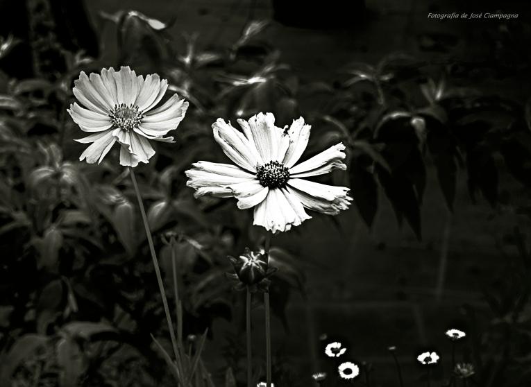 Flores amarillas en blanco y negro