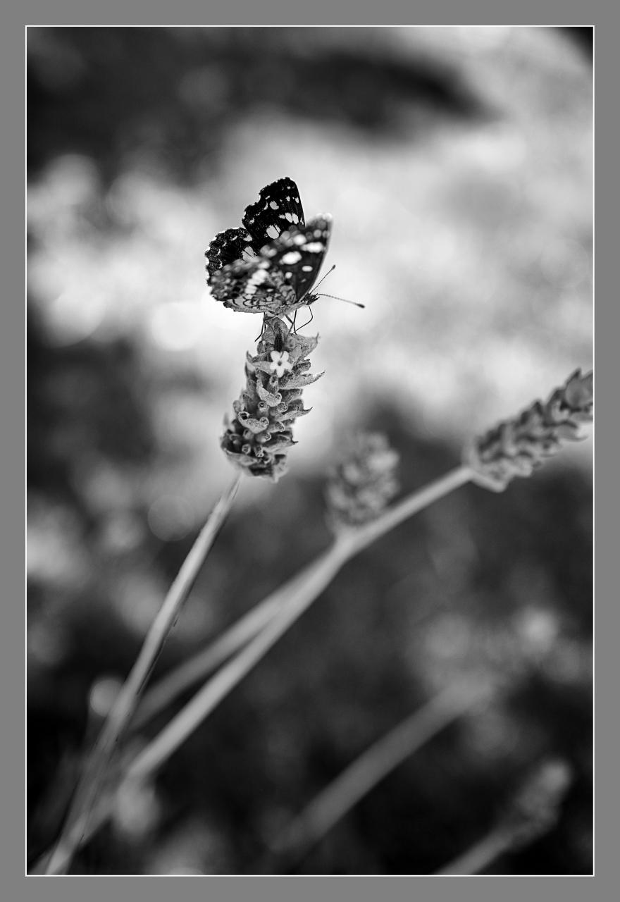Mariposa en blanco y negro, Ea. San Teodoro, Córdoba, Argentina, diciembre 2016