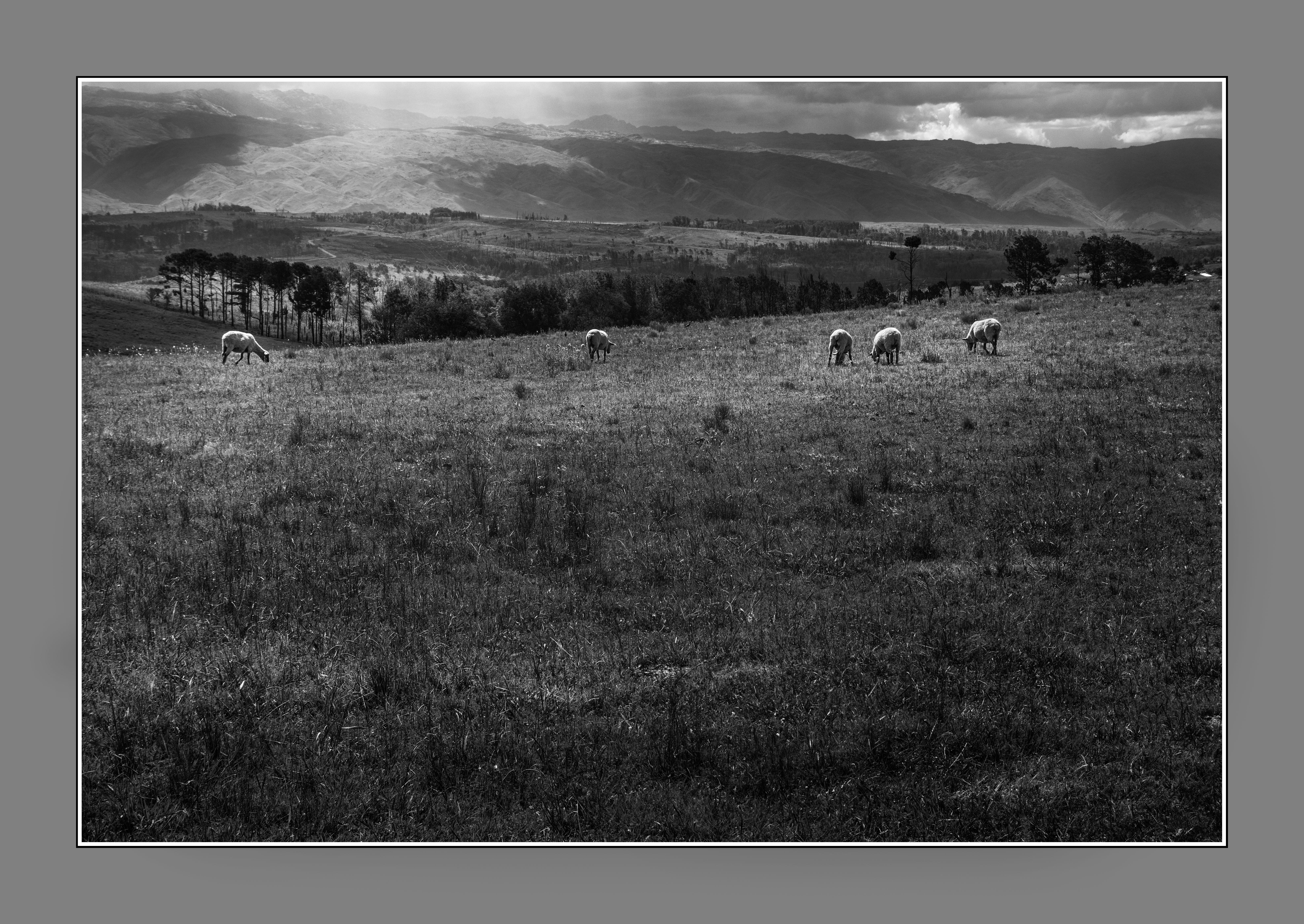 Las ovejas de Yacanto, Valle de Calamuchita, Córdoba, Argentina. Feb 2017