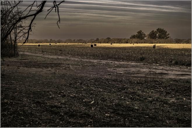 Vacas en el barbecho. Zona rural de Río Primero, Córdoba, Argentina