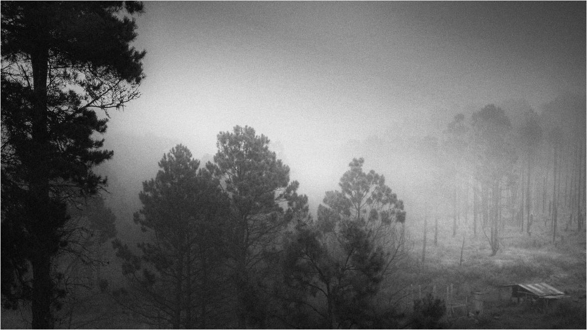 Los pinos bajo la niebla