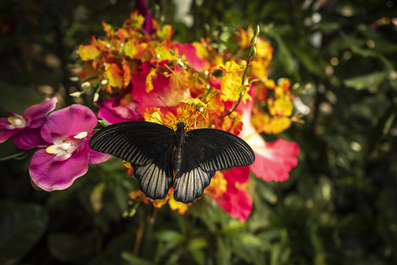 La mariposa negra